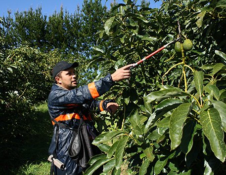 Orchard worker using pruners to crop an avocado tree